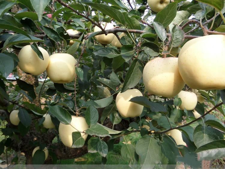 苹果苗多少钱一株包头